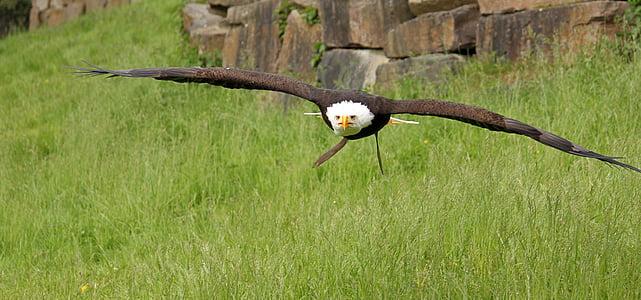 kalju kotka, haukkametsästys, petolintu, lento, Raptor, Adler