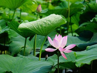 Lotus, het landschap, landschap, blad, bloem, groei, groene kleur