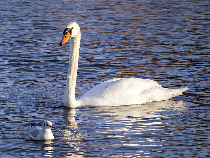 лебед, ням лебед, птица, вода птица, природата, животните