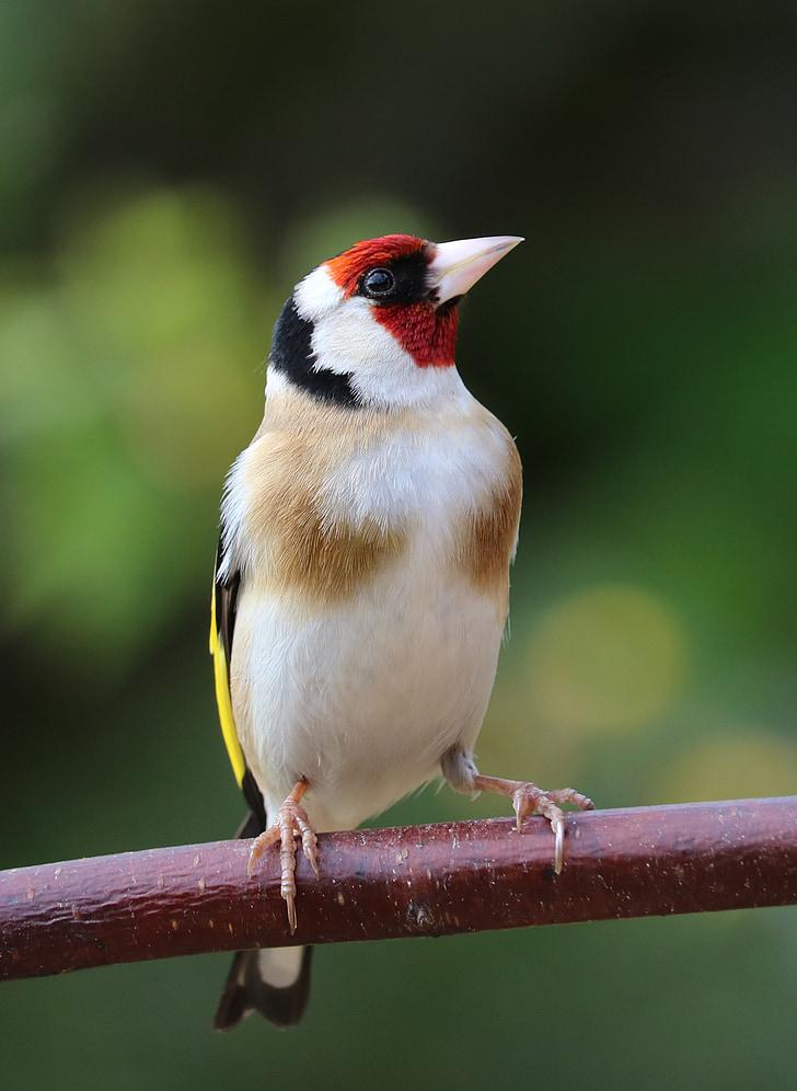 Щиглец, песента птица, птица, градински птица, цветни