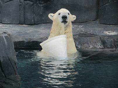 polar bear, portrait, wildlife, looking, swimming, playing, bucket