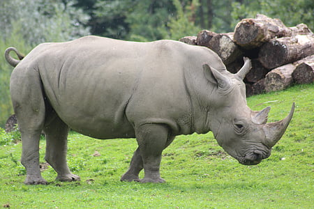 rinoceront, zoològic, natura, gran, dur, animal