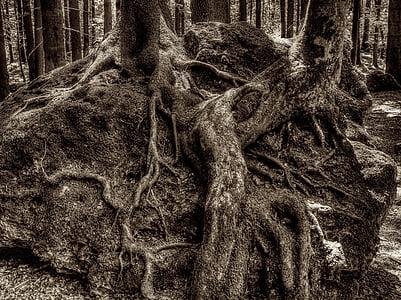 arrel, arrel d'arbre, grove druida, bosc, Parc Nacional, cobert, natura