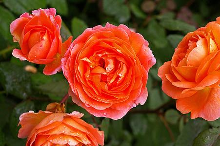 Rosa, rosa taronja, Rosa perfumada, roserar, flor, flor, flors roses