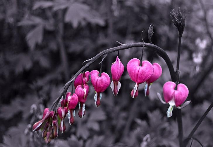 lilled, lill, taimed, loodus, Makro, taust, südame