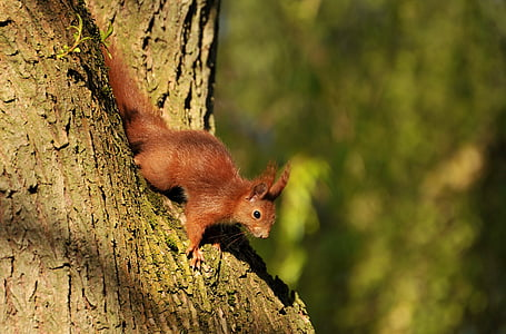 squirrel, animal, young animal, young, nature, tree, one animal