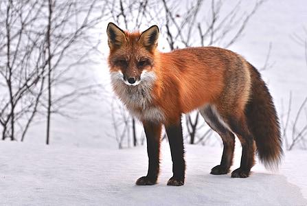 Fuchs, Natur, Tiere, Roux, Fauna, wildes Tier, Schnee