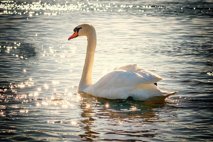 Cigno, acqua, uccello, Lago, bianco, piuma, natura