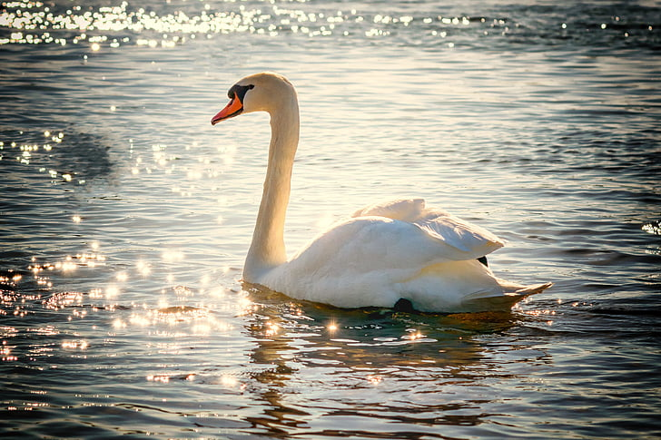 Gulbė, vandens, paukštis, ežeras, balta, Plunksna, Gamta