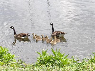 他の-家禽, ガチョウ, 池, 湖, スイミング, 若い, 鳥