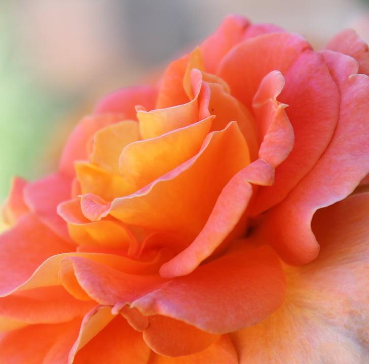 Роза, розова роза, цвете, природата, листенца, романтичен, Пролет