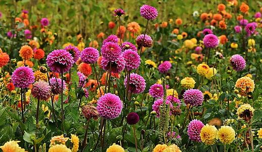 Dàlies, tardor, asteràcies, jardí de flors, flor ornamental, jardí de dàlia, dàlia
