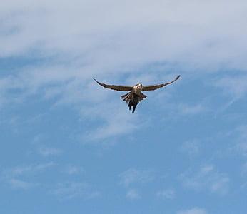 lintu, Luonto, Hawk, Wild, Raptor, lintuinfluenssan, lihansyöjä