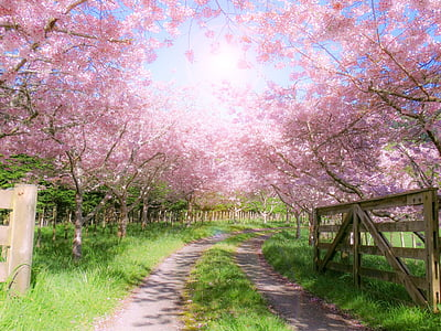 farm, gate, wooden, pink, blossom, spring, nature