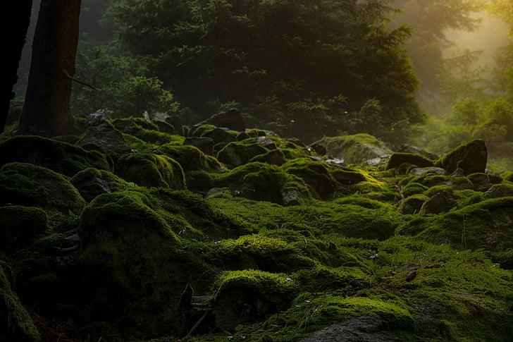 Orman, karanlık, yosun, doğa, kasvetli, karanlık, Tasavvuf
