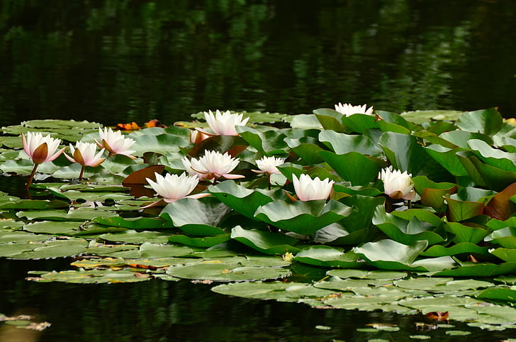 water lilies, lily pond, pond, water, lake rose, blossom, bloom