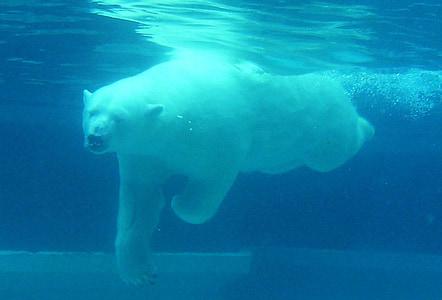 bear, polar, diving, water, under, white, arctic