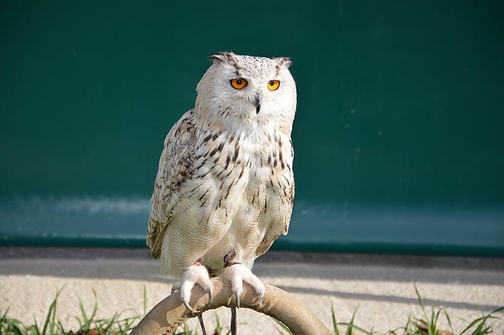 Pöllö, valkoinen, Polar, höyhenet, kylmä, Arctic