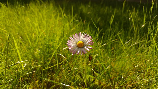 daisy, flower, grass, meadow, spring, close, nature
