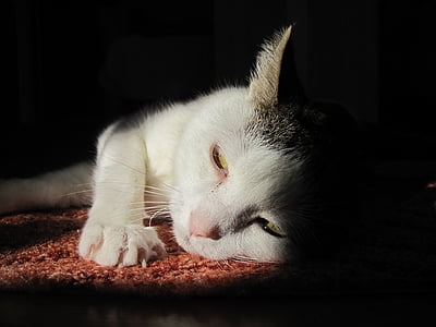 kass, mieze, PET, looma, Kodukass, päike, lõdvestunud