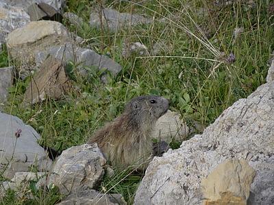 Marmota, muntanya, alps de vida silvestre, Alps de l'Alta Provença, vida silvestre, annimaux, natura