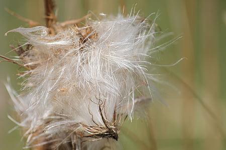 Card, llavor del Thistle, llavors va ser, es va esvair, llavors, natura, close-up