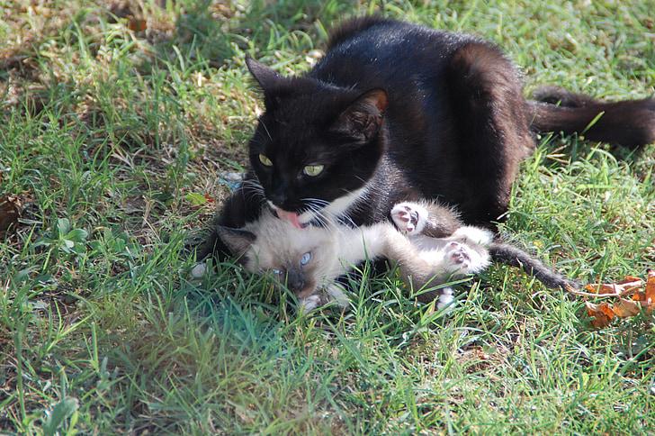 котки, мама котка и си теле, животински нежност, животни