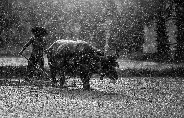 buffalo, farmer, cultivating, agriculture, asia, cambodia, culture