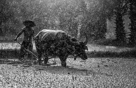 búfal, pagès, cultiu, l'agricultura, Àsia, Cambodja, cultura