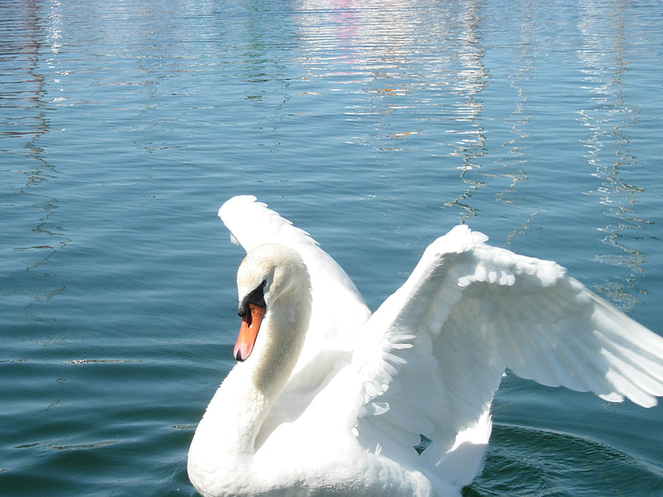 Gulbė, skleisti savo sparnus, naminių gyvūnėlių