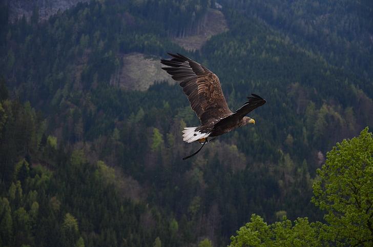 животните, плешив орел, птица, орел, плаващи, гора, дървета