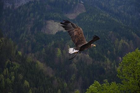zvíře, Orel bělohlavý, pták, Orel, létání, Les, stromy
