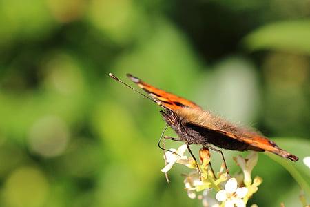 Painted lady, Motyl, nektar, Trąba, kwiat, Bloom, makro