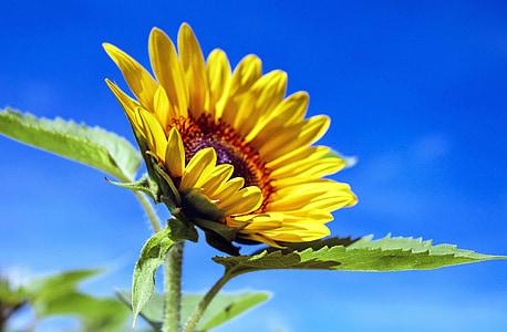 Sun flower, lill, lilled, kollane, taevas, suvel, loodus