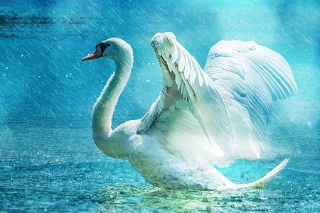 swan, beautiful, white, water, rain, elegant, bird