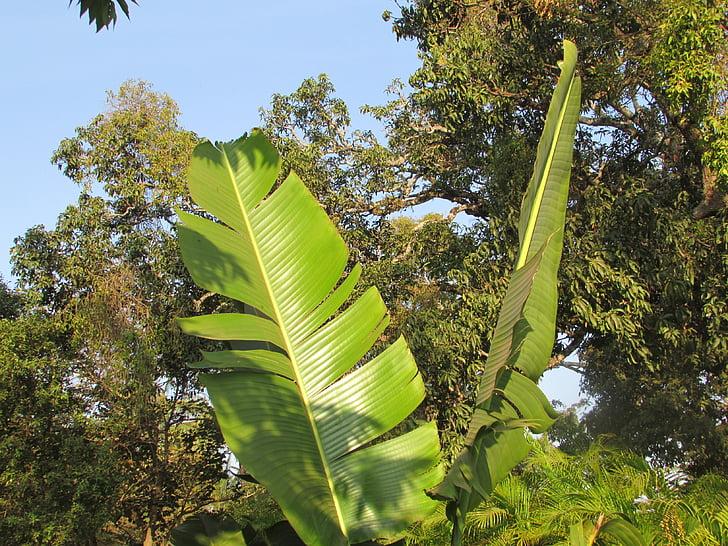 fulla de plàtan, fulla de Palma, fulla, exòtiques, Dharwar, l'Índia