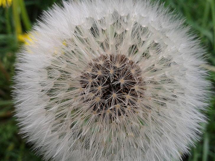 võilill, seemned, Sulgege, loodusliku lilled, loodus, taim, kohev