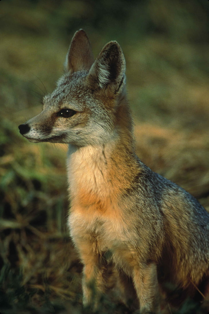 mutica, macrotis, vulpes, fox, kit, joaquin, san