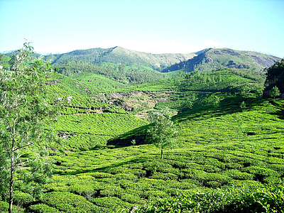 thee plantage, Theetuin, berg, Tuin, thee, Munnar, Kerala