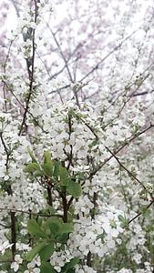 flors blanques, blanc, primavera, flors