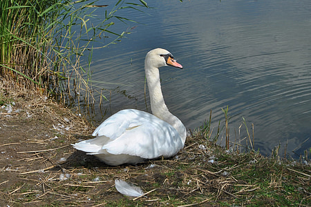 swan, mute swan, water, bank, feather, water bird, white