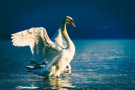 swan, bird, wildlife, lake, water, reflections, beautiful