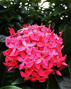 Rosa, gran, flor