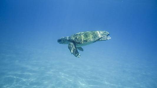 želva, vode želva, portret, živali, tankovska, divje, Grčija