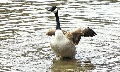 гъски, Канада, Пролет време, дива птица