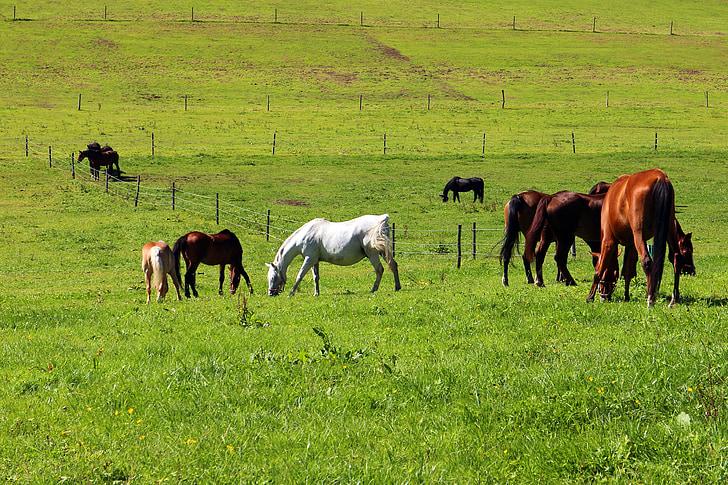les pastures, cavalls, pastures de cavall, acoblament, natura, animal, pasturar