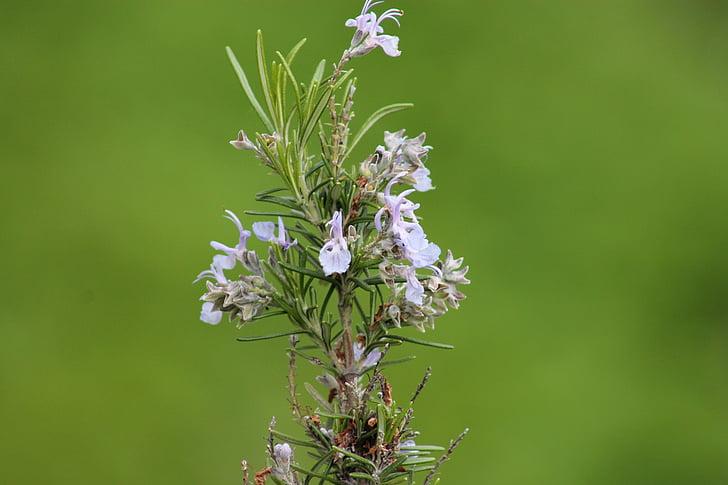 Romero, flor, floración, especias flores