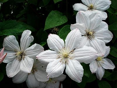 Clematis, flor, blanc, clematis blanc