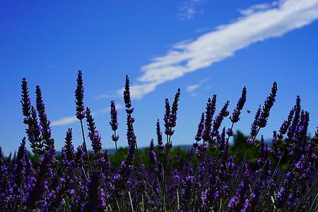 tuoksu, aromaattinen, Kaunis, Bloom, Lähikuva, pilvet, maaseudulla