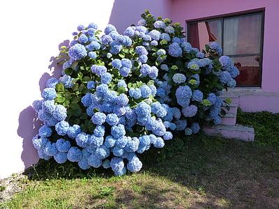 Hortènsia, pètals blaus, arbust, flor, decoració, natura, planta